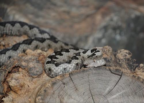 nosehorned viper