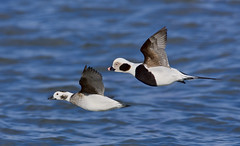 Long-tailed Ducks (J Gilbert) Tags: duck newjersey long tailed barnegatlight clangula longtailedduck clangulahyemalis hareldekakawi