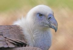 sharp (PhotoGrapherQ80 KWS) Tags: birds kuwait adel abdeen avianexcellence