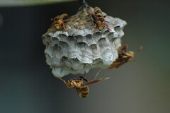 Teamwork (k9luv) Tags: nature wasp nest florida sting bee build painful teamwork