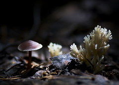 Secret Alien Meeting (ressaure) Tags: nature mushrooms russia idplease fungi siberia fungus mycology  ramaria   coralfungi  mycenapura