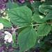 philadelphus-coronarius_boerenjasmijn