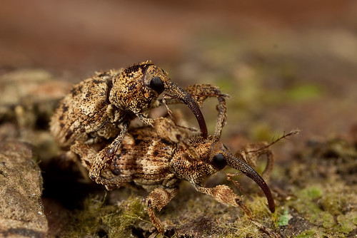Weevil in Love -2