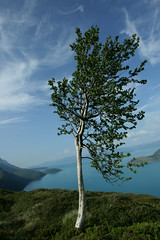 Lonely Tree (Adam Raczynski) Tags: sky tree norway clouds wideangle fjords finnmark canonefs1022mmf3545usm canoneos400d