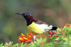 Purple rumped Sunbird (Male).. (K. Shreesh) Tags: india birds pune sunbird birdwatcher naturesfinest 50d supershot specanimal eos50d anawesomeshot avianexcellence flickrdiamond ef400f56l okayamagarden beautifulworldchallenges coth5