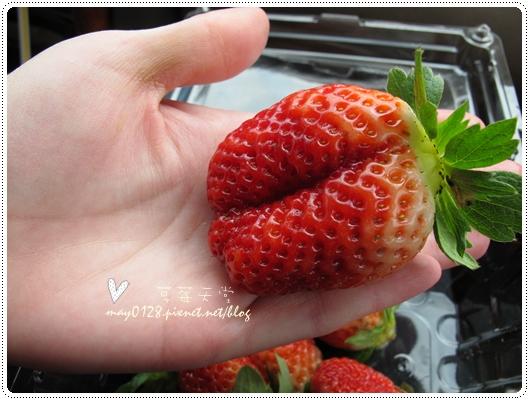 關西採草莓橘子牛欄河2010.02.20-7