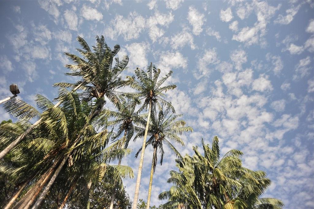 Pokok kelapa
