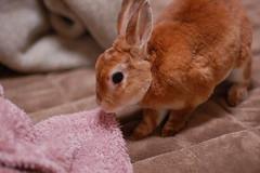 DSC_4785 (choimakko) Tags: rabbit bunny