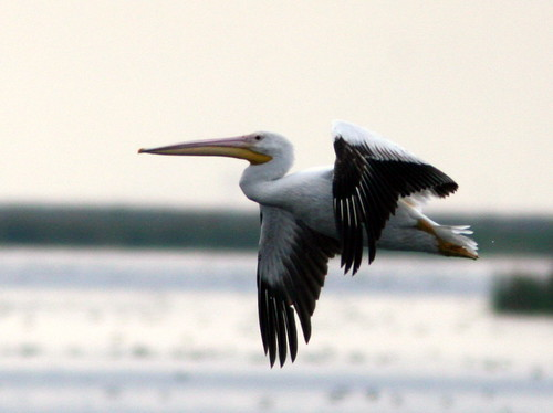 American White Pelican in flight 20100215
