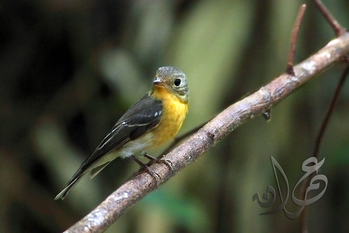 Mugimaki Flycatcher (Ficedula mugimaki) | Sambar Mugimaki