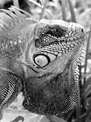 Iguana ou camaleo? (Tlio Tsuji) Tags: brasil ma monkey olhar br comida flor iguana ces macaco fotografia dor cor espinhos maranho cacto lenha fogo tlio tsuji panelas umdia traco tuliotsuji