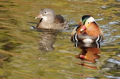 D90-2_DSC_8205 (PeterRJ2010) Tags: birds geotagged nederland thenetherlands vogels denhaag mandarinduck thehague aixgalericulata mandarijneend marlot reigersbergen