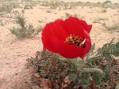 (Q8Dreamer) Tags: red rose desert kuwait dreamer q8   subiya
