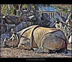 ╰♥ Grande Armadura ♠♪ Me Desculpe Pela Ausência Meus Queridos Amigos!!!!Excuse Me For My Absence Dear Friends!!! (♫ Photography Janaina Oshiro ♫) Tags: animal japan digital zoo nagoya japão hdr selvagem rinoceronte nikond90 janainaoshiro