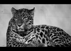 Miezekatze (Frank Dpunkt) Tags: ex zoo apo dg dpunkt fujifinepixs5pro karlsruhezooblackwhiteschwarzweissleopardkatzecatblack whitefineartmonochromeportraitsigmaswfineartsigma100300f4 iffrank