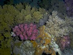 Corales (FRosselot) Tags: redsea scubadiving buceo marrojo