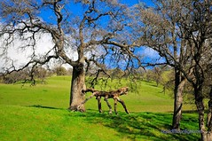 The Snarling Beast of Round Valley - Round Valley Regional Park California (Darvin Atkeson) Tags: california road park trees sky usa green nature grass america creek forest landscape us oak mt branches meadow coastal valley round angry beast marsh diablo unusual lush oaks twisted grazing snarling snarl rang darvin atkeson regiona  darv   liquidmoonlightcom