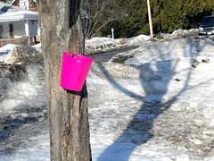 sap catcher (sugar maple) (dmixo6) Tags: trees winter ontario canada pancakes maple muskoka maplesyrup thaw sap sapsucker 2010 sugarmaple sugaring dmixo6