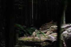 030310 - day 3 - night safari singapore zoo (91) (nate.cho) Tags: zoo singapore singaporezoo nightsafari