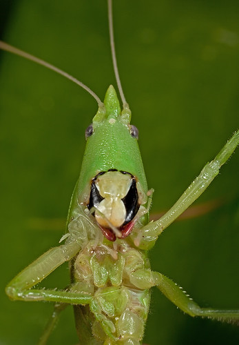 Katydid - Fri face