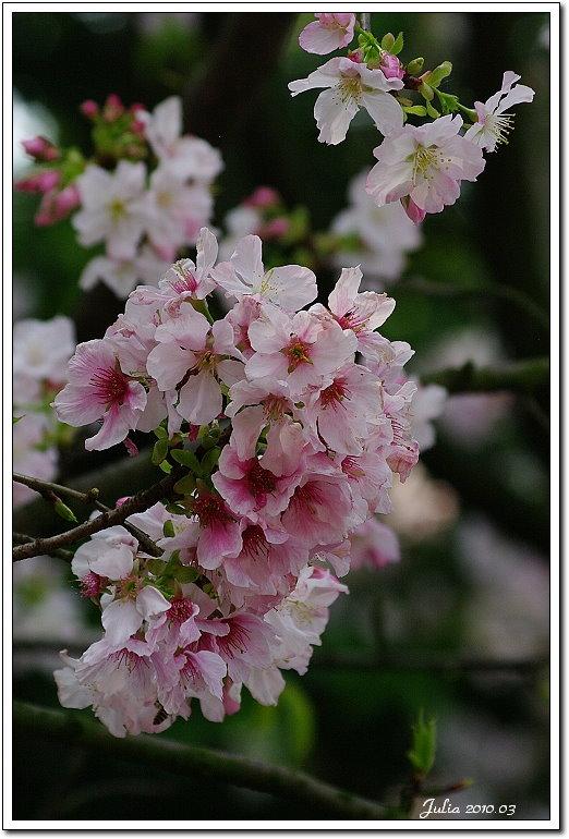 天元宮,櫻花 (17)