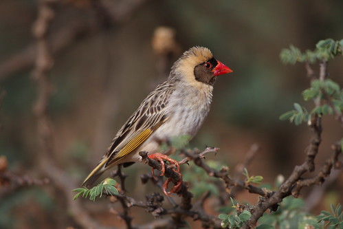 Red-billed quelea (Quelea quelea)
