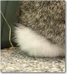 bunnytail