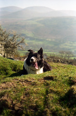Vintage Indy (Mike & Indy) Tags: birthday dog dogs collie border indy hills friday llanfairfechan