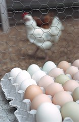 Aracauna Chicken Eggs (Photo by Nader Khouri/Bay Area News Group)