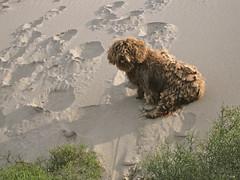Resbalando duna abajo (elburbublog) Tags: chien pets beach poodles sand dunes dune sable playa arena perro poodle naturism beaches perros duna plage mascota mascotas almera cabodegata playas mediterrneo dunas chiens nudismo nudism naturisme rodalquilar mediterrane nudisme monsul barronal mnsul spanishwaterdog mascottes perrodeaguaespaol elbarronal