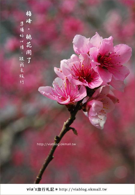 【梅峰農場桃花緣】最美的桃花隧道,就在南投梅峰這裡~(上)32