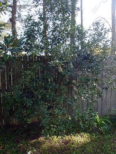 Kumquait Tree