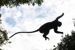 Monkey Mid-air (Treflyn) Tags: monkey leaf wildlife malaysia midair kuala langur selangor silvered