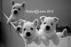 5 West Highland White Terrier Puppies (Foxy Robyn) Tags: baby pets white cute animal puppies sweet westie young westhighlandwhiteterrier pup 5weeks addorable nikond40