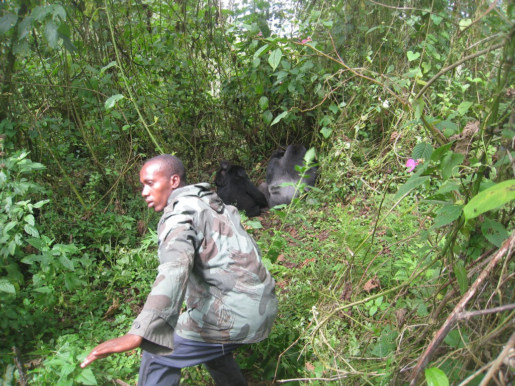 Our guide ensures we keep our distance from this gorilla family gathering.