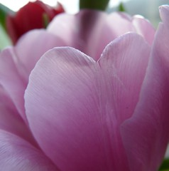 Happy Birthday (suesviews) Tags: birthday pink heart mum tulip almost xo 70th lovepride sheisarealangel