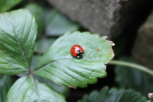 ladybird and strawberry leaf