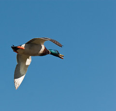 mallard in flight (Judy Rushing) Tags: birds mallard 15challengeswinner herowinner storybookwinner pregamewinner pregamesweepwinner storybookttwwinner