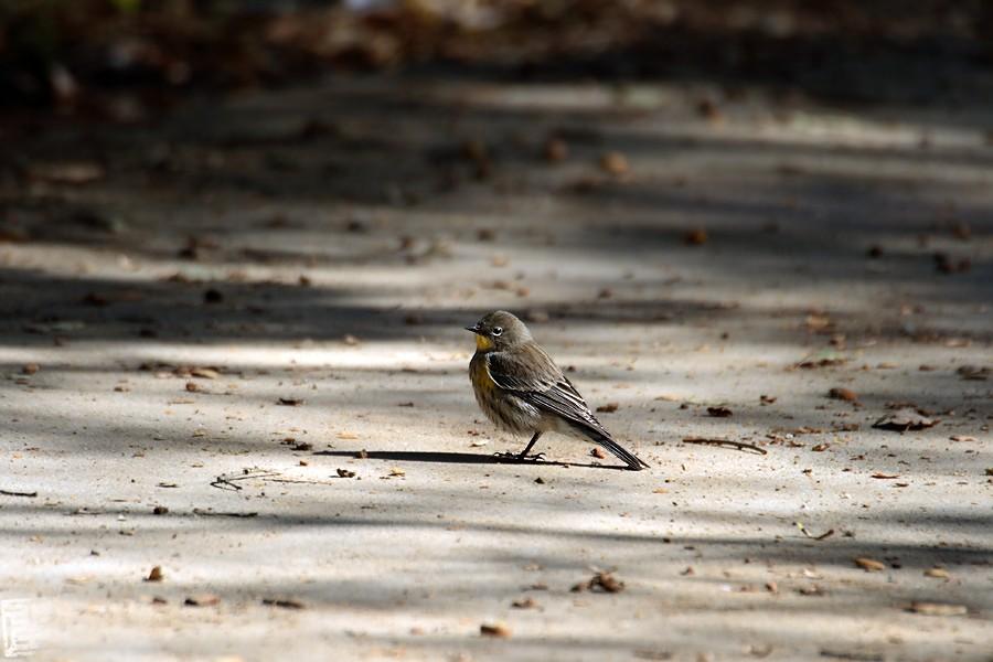 Yellow-rumped Warbler 11081