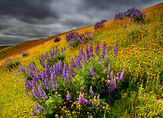 B&W vs Color (DM Weber) Tags: sunshine cloudy lupine centralcalifornia fiddlenecks psa148 yourwonderland coth5 dmweber