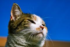 [フリー画像] [動物写真] [哺乳類] [ネコ科] [猫/ネコ]       [フリー素材]