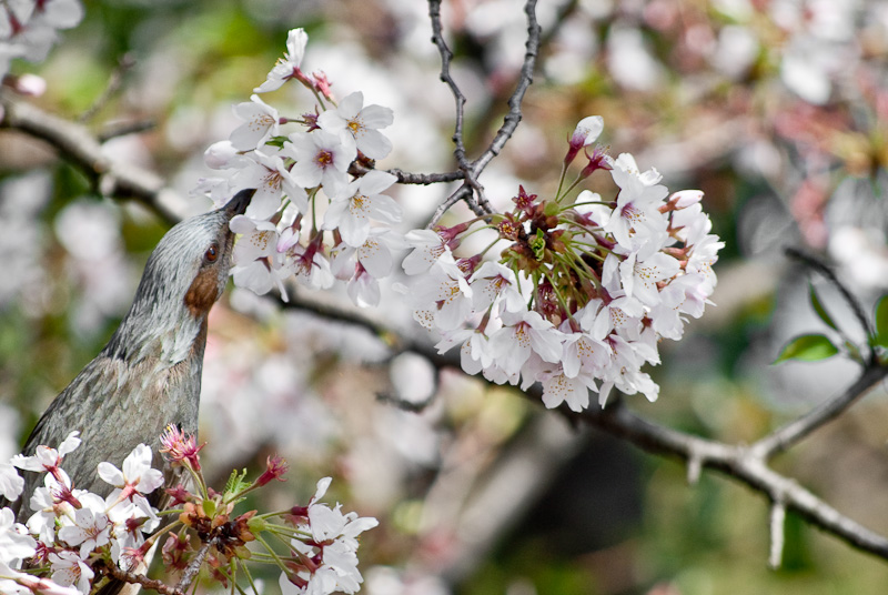 bird in sakura_8206