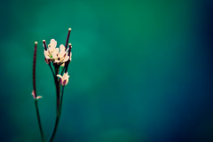 ~ Colour is my day-long obsession, joy and torment. (CarolynsHope) Tags: blue flower color colour nature colors petals spring intense weed nikon colorful aqua d70 bright vibrant teal rich vivid minimal simplicity bloom alive minimalism simple bold claudemonet lively 105mm