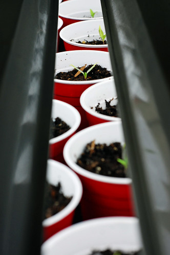 Pepper Seedlings 041510