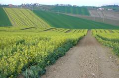 ...giallo in Romagna... (rebranca46) Tags: friends italy panorama verde green nature yellow campagna giallo harmony 2010 romagna campi coltivazioni rebranca misanorn allegrisinasceosidiventa