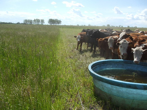 cell grazed cows
