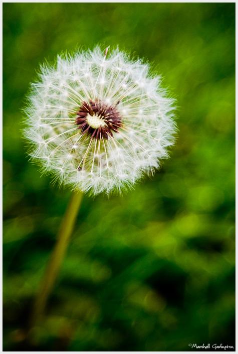 Dandelion lomo