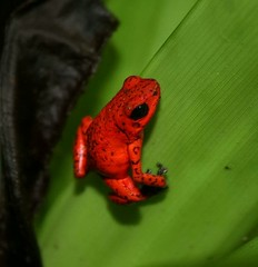 Costa Rica: Strawberry Poison Dart Frog (spiderhunters) Tags: costarica frog poisonarrowfrog strawberrypoisondartfrog