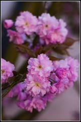 IMGP3798 (BriceHum) Tags: fleur 50mm pentax printemps fa cerisier japonais flore k20d