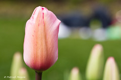 A tulip in Hyde Park - London. (Patrick Mayon) Tags: flower macro london nature fleur spring bokeh tulip hydepark printemps tulipe flowersplants efs60mmf28macrousm